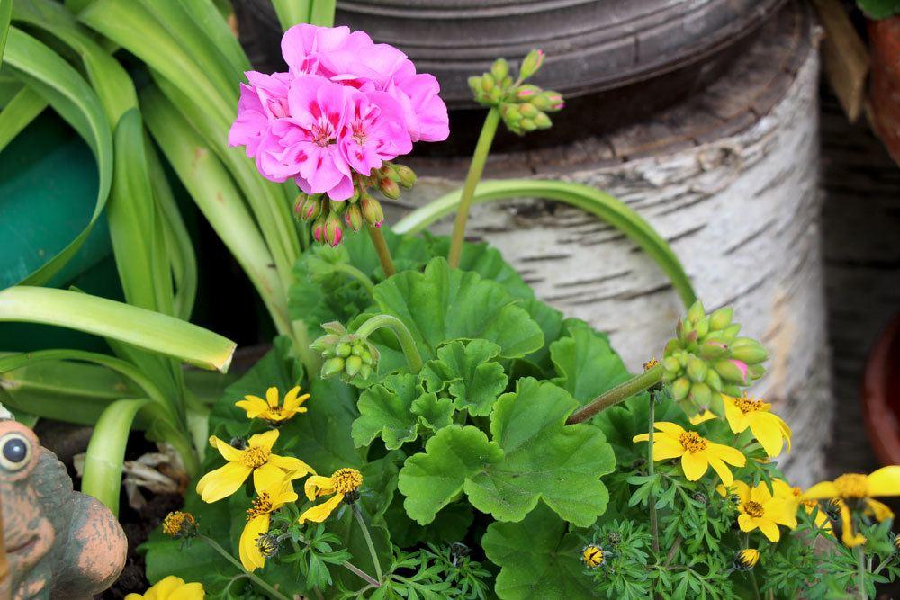 Geranie im Gartenbeet