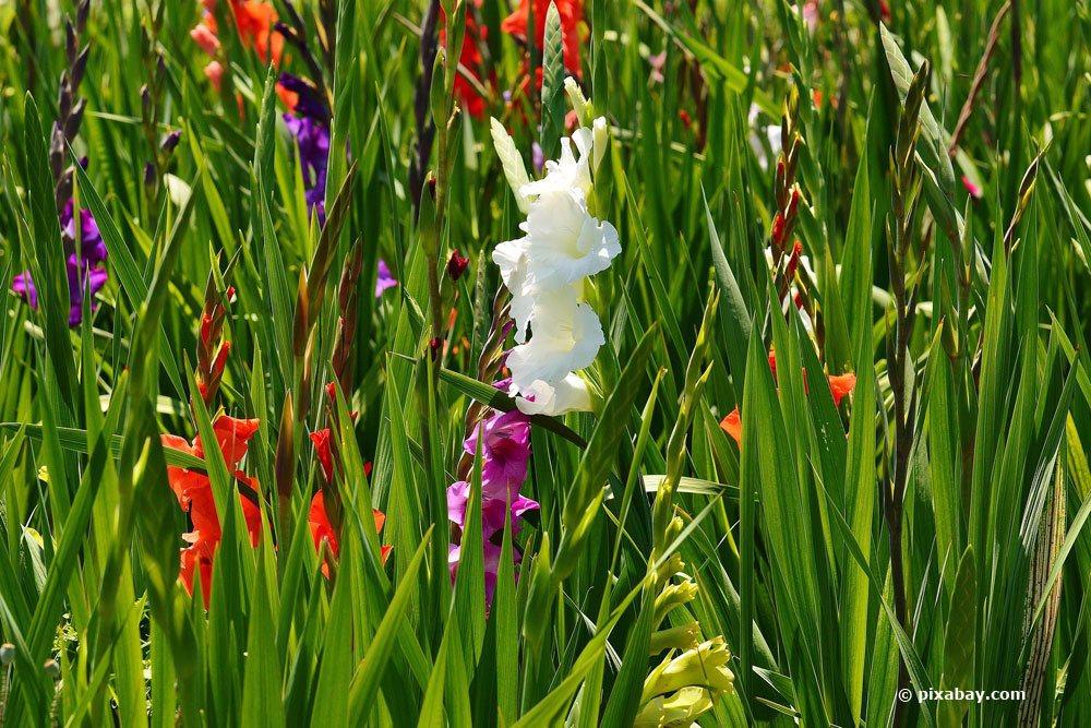 Gladiolen im Gartenbeet