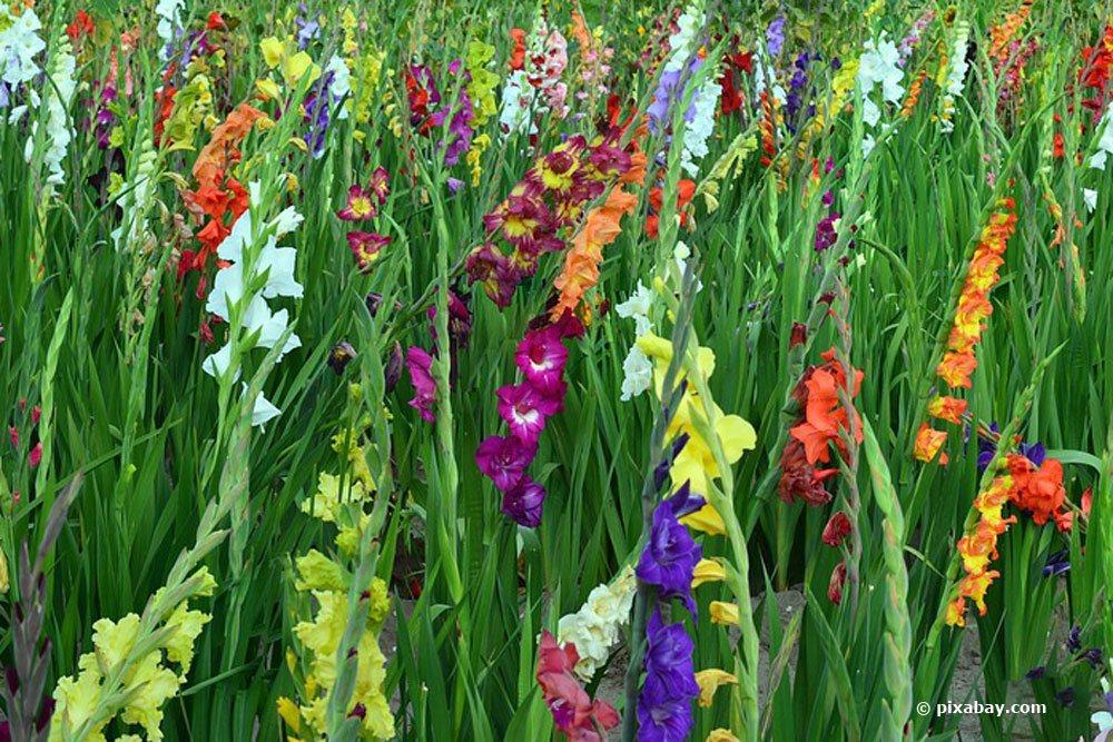 Gladiolen in verschiedenen Farbnuancen im Beet