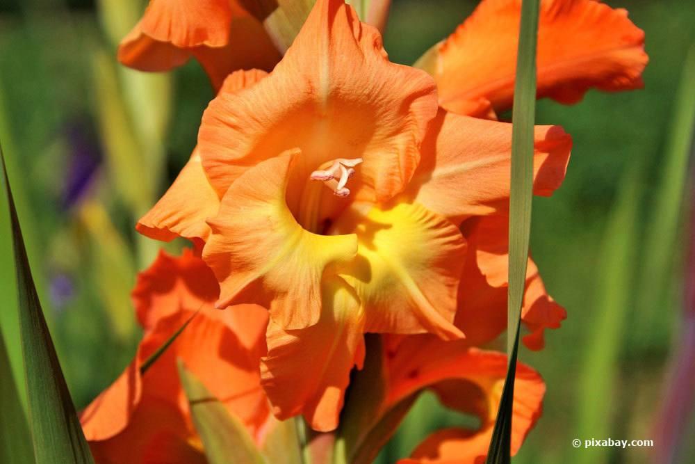 Gladiole mit orangener Blütenfarbe