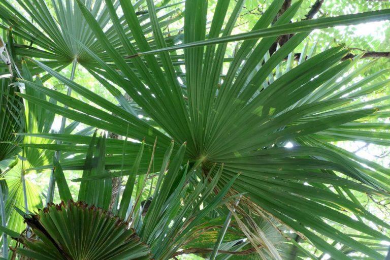 Die Blätter der Trachycarpus wagnerianus sind kleiner und fester