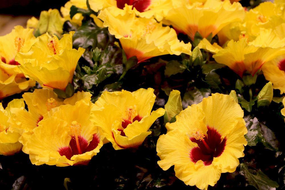Hibiskus mit gelber Blütenfarbe