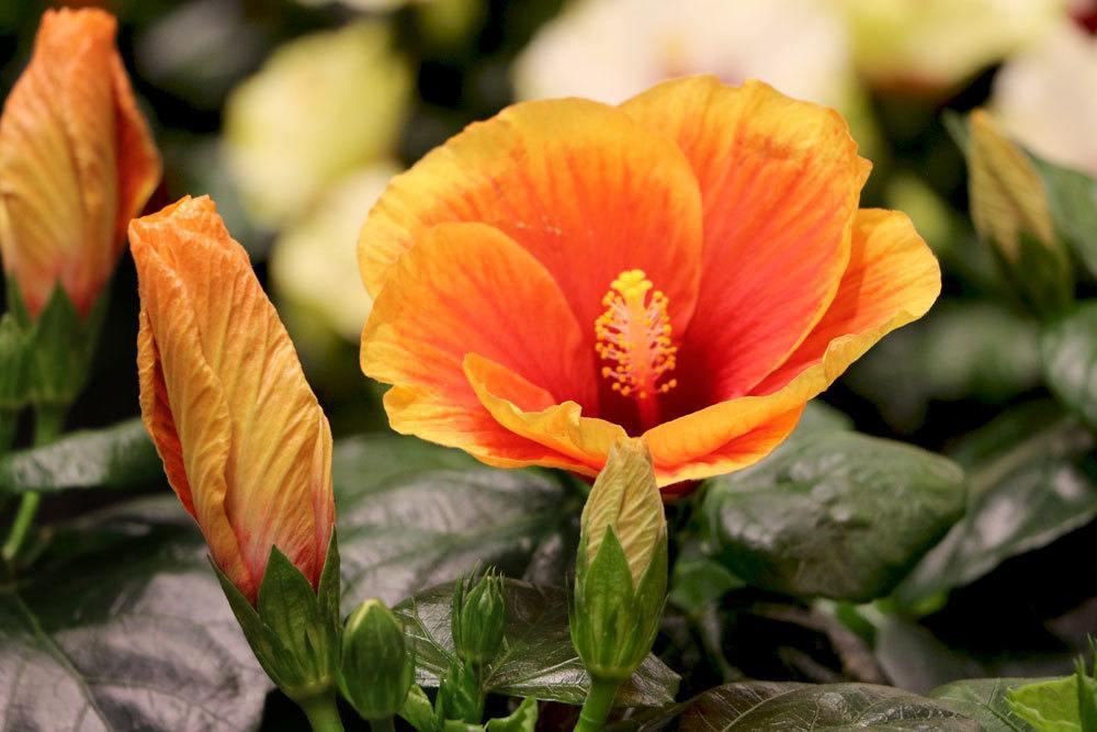 Hibiskus mit orange-gelber Blütenfarbe