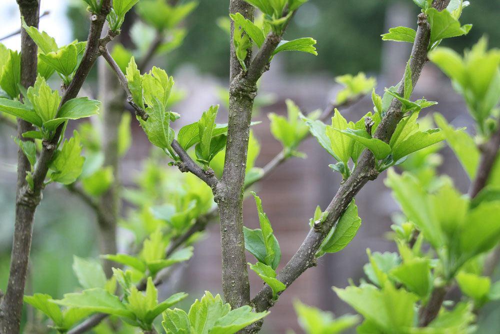 Hibiskus ist eine kälteempfindliche Pflanze