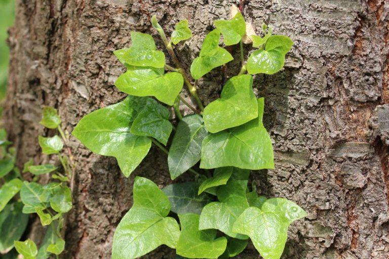 Efeu eine beliebte Dekopflanze ist giftig
