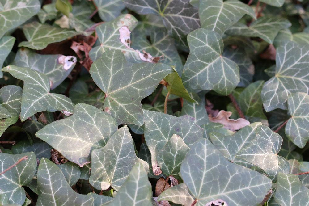 Ist efeu gifig f r menschen und haustiere das ist zu beachten - Efeu zimmerpflanze giftig ...