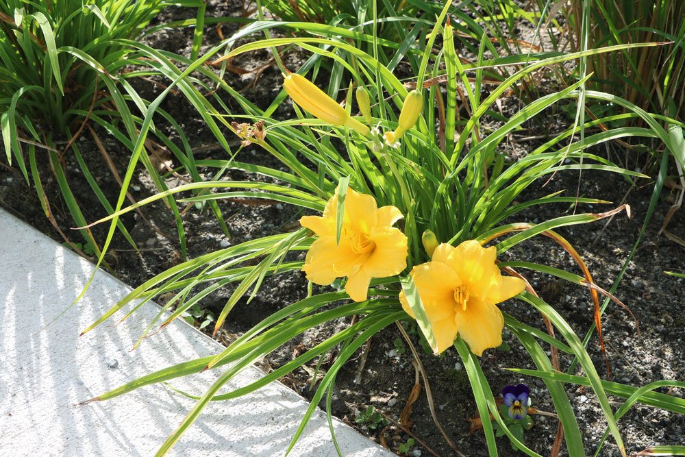 Lilien im Beet mit ihren extravaganten Blüten