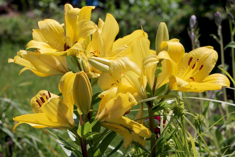 Lilien gibt es in unterschiedlichen Farben und Größen