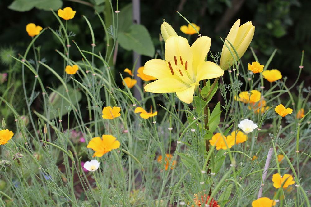 Lilien im Gartenbeet