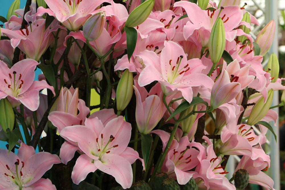 Lilien als Zimmerpflanze