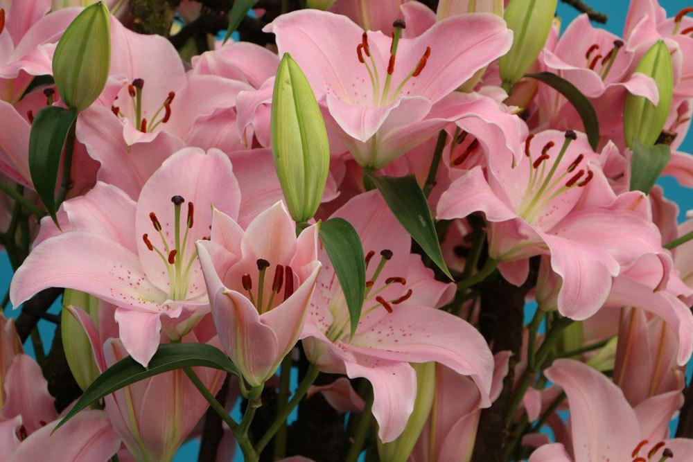 Lilien mit rosa Blütenfarbe