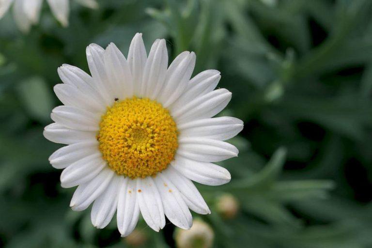 weiße Margeritenblüte