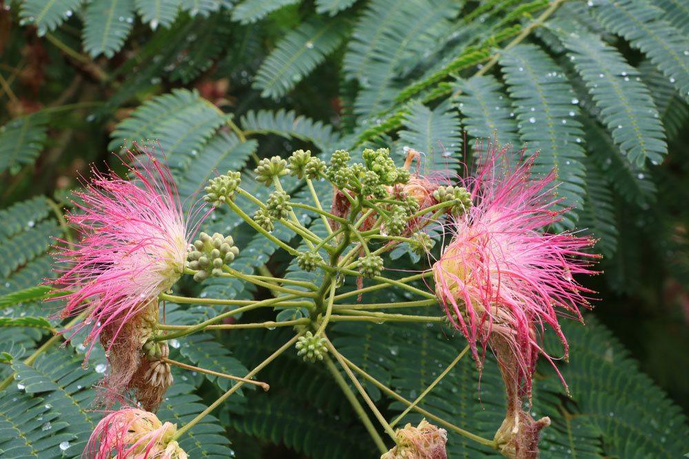 Mimose mit filigranen Blüten
