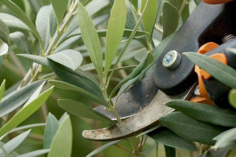 Olivenbaum richtig schneiden