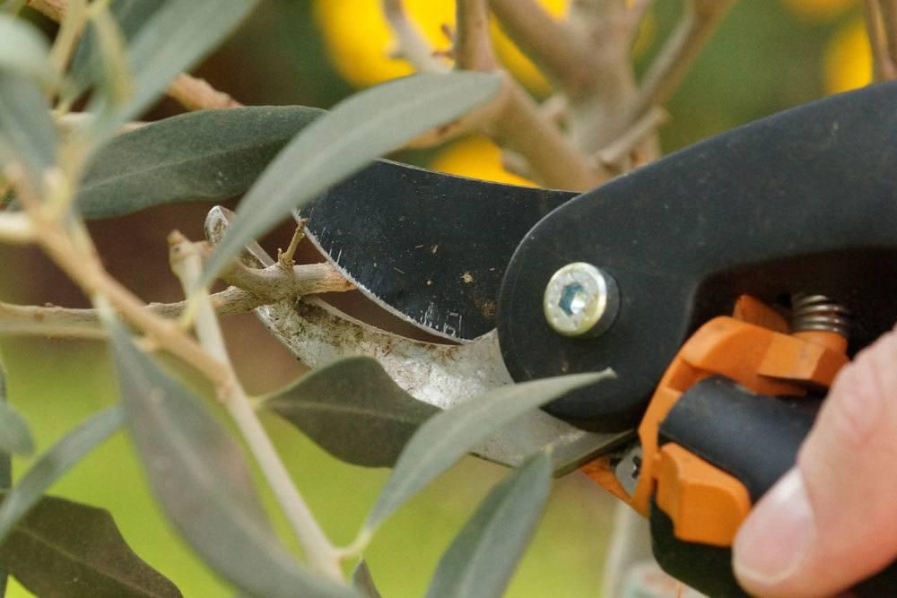 Olivenbaum mit dem richtigen Werkzeug schneiden