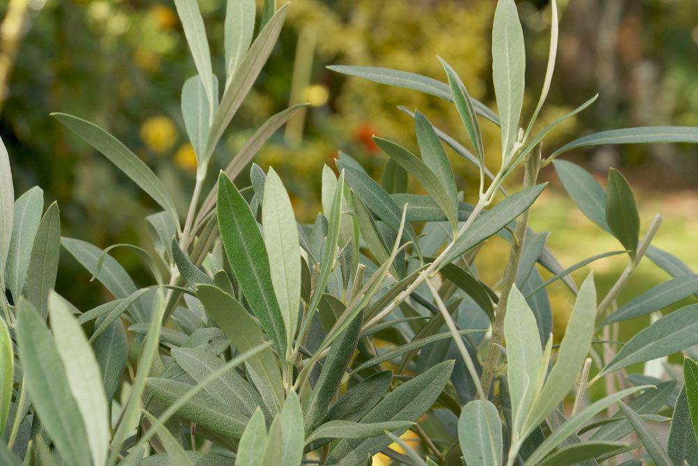 Olivenbaum schneiden, um Schädlinge zu bekämpfen