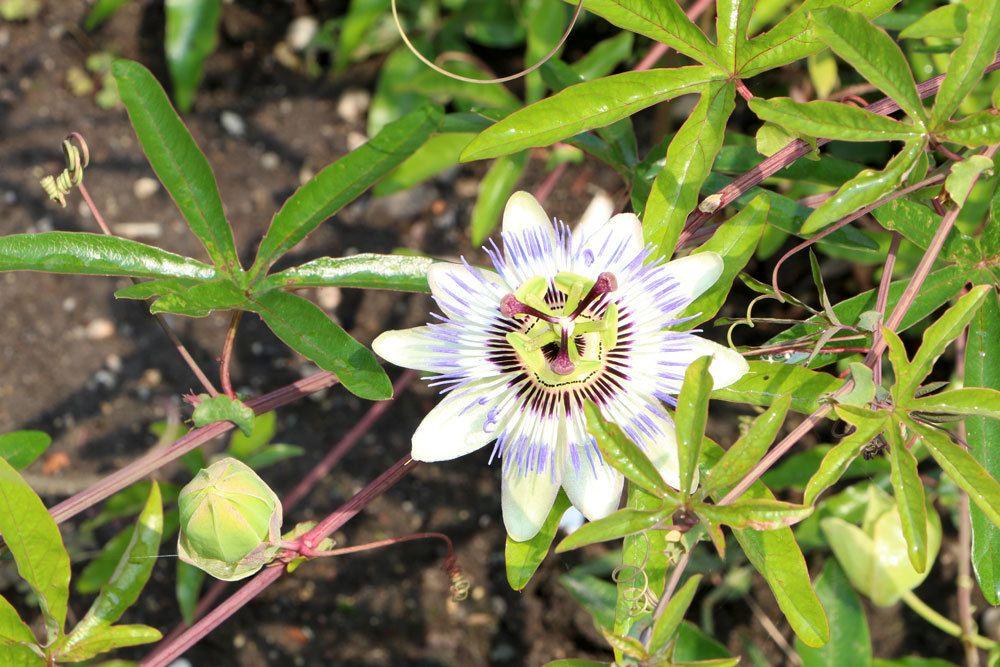 Passionsblume mit ihrer einzigartigen Blüte