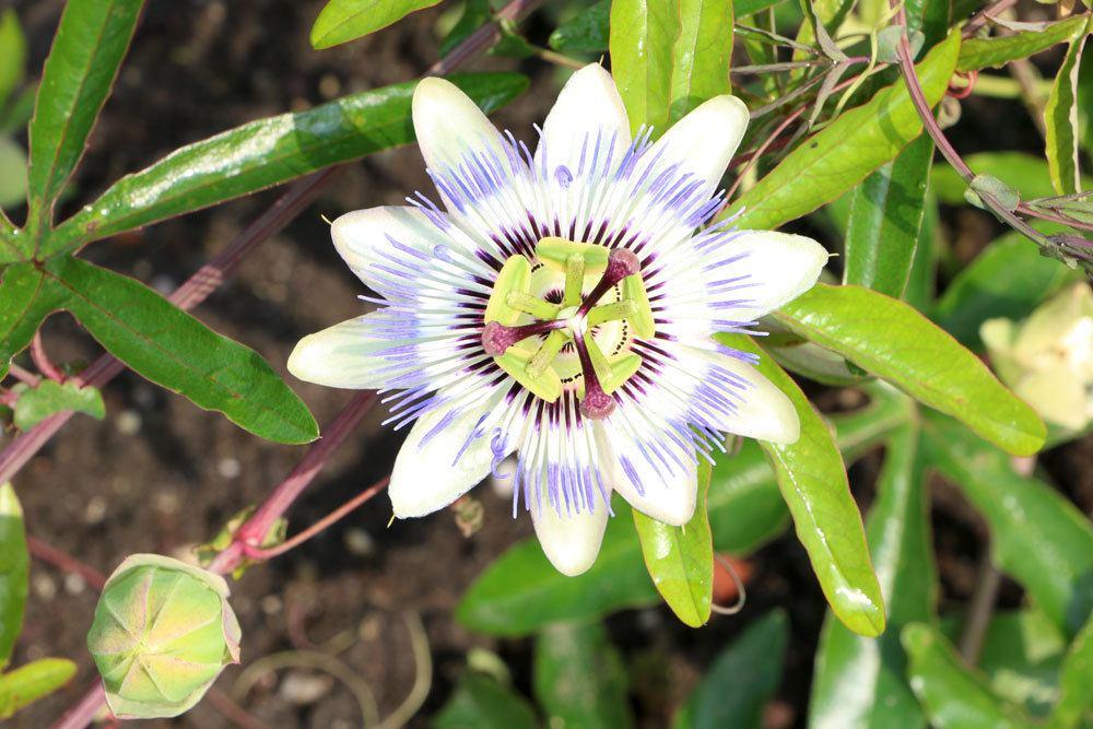 Passionsblume im Gartenbeet
