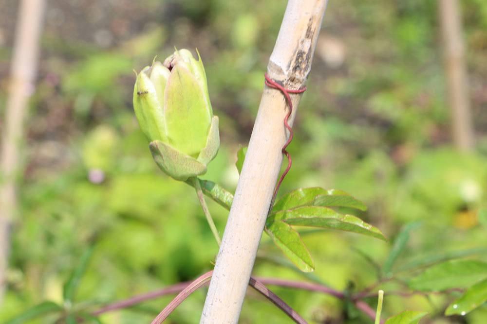 sich öffnende Passionsblumen Blüte