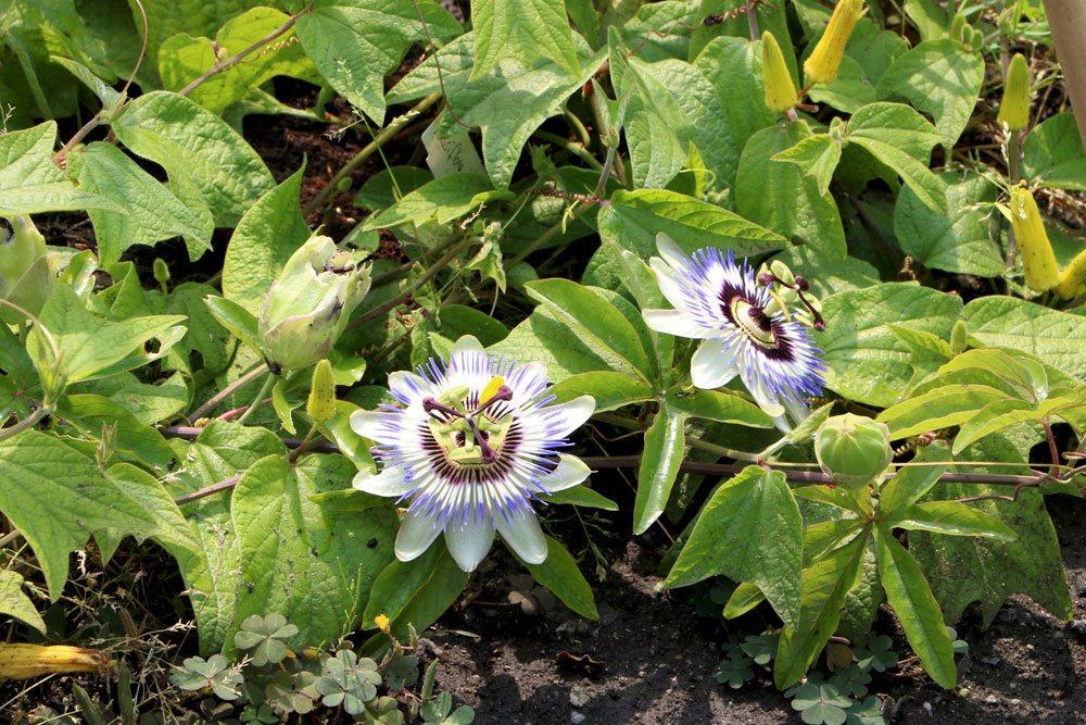 Passionsblumen im Gartenbeet