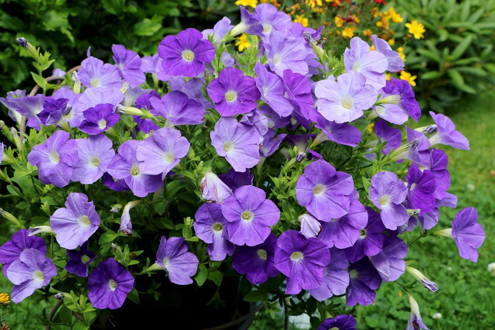Petunien mit lila Blütenfarbe
