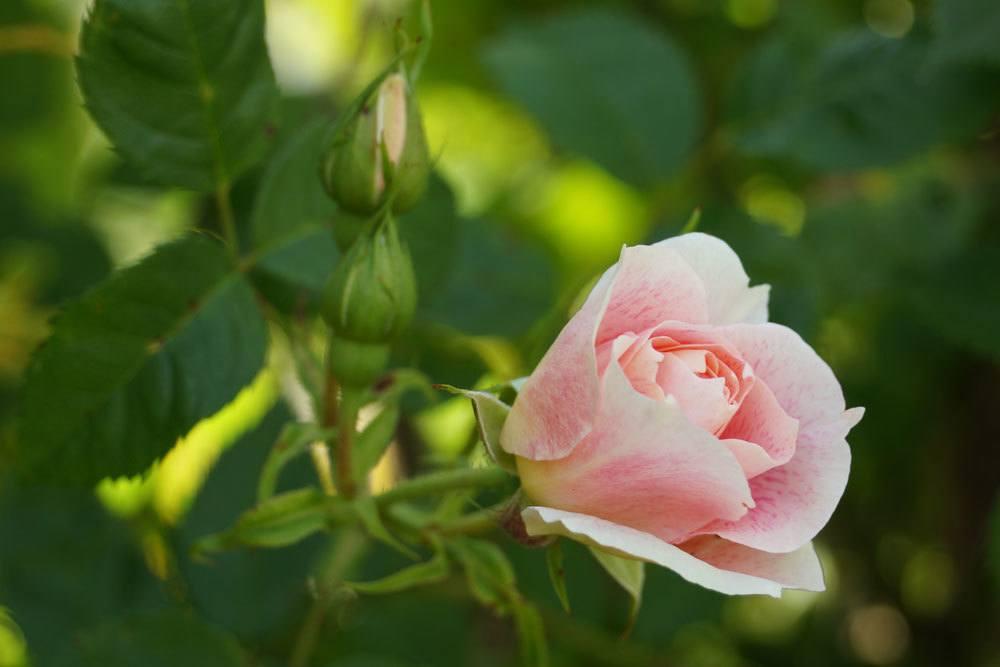 Rosen vorm Überwintern schneiden