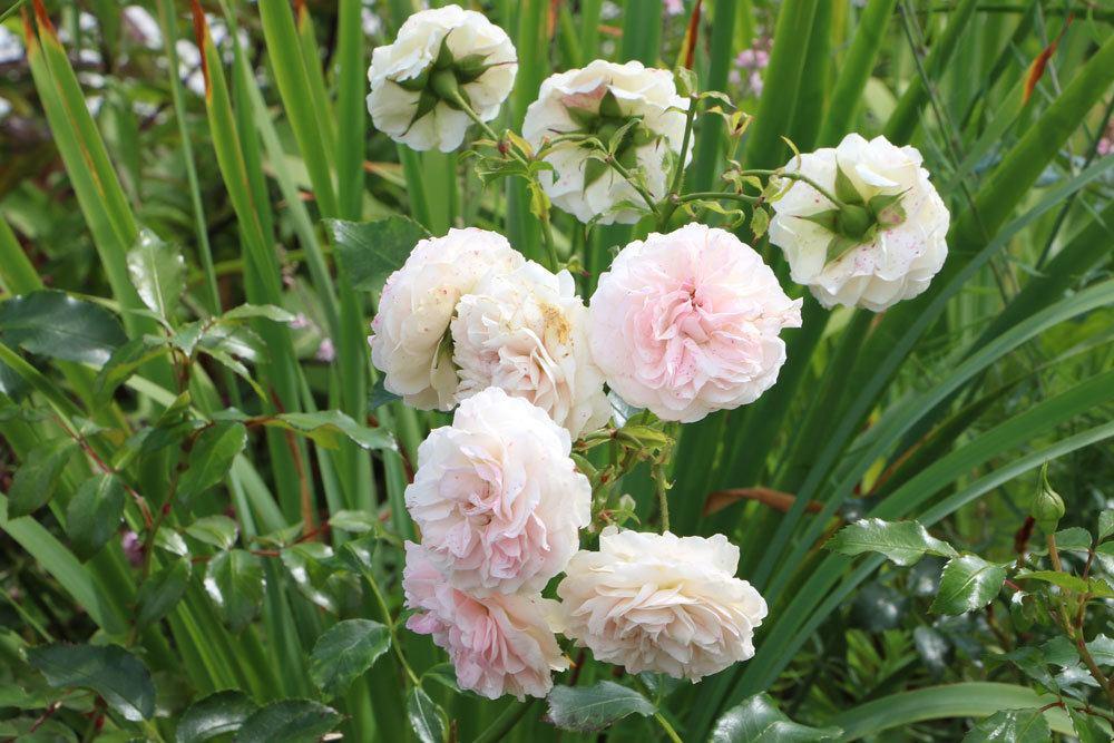 Rosen im Topf oder Kübel überwintern