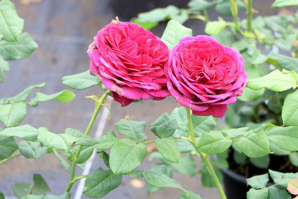 Rosen mit pinkfarbenen Blüten
