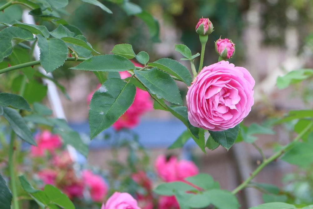 Rosen Stamm vor Kälte schützen