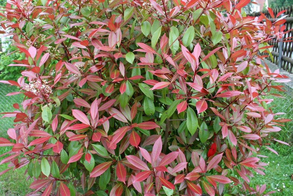 Rote Glanzmispel eine dekorative Balkonpflanze