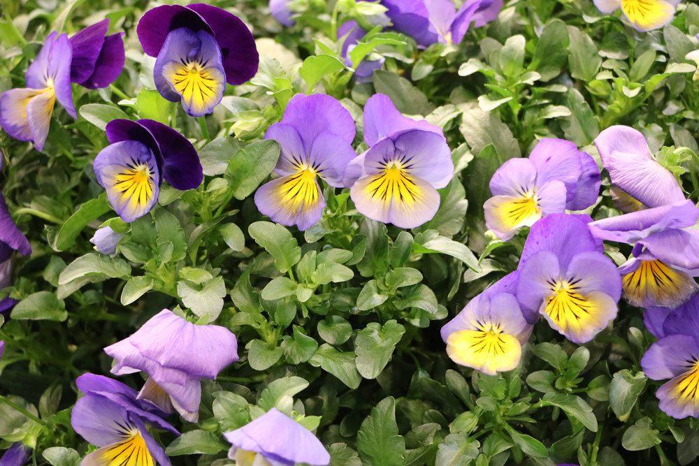 Hornveilchen, Viola cornuta