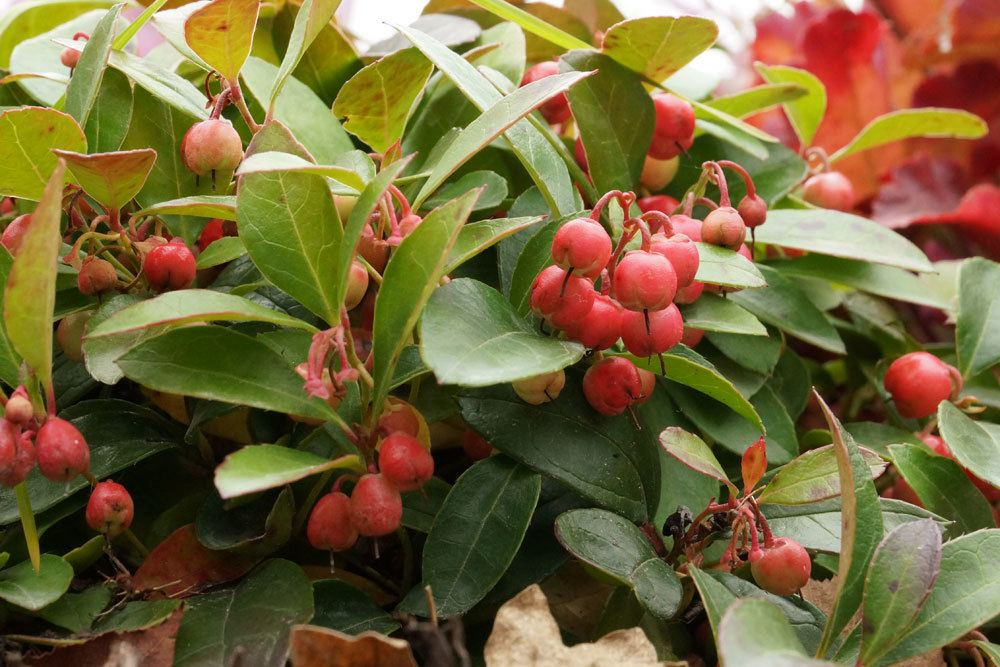 Rote Teppichbeere, Gaultheria procumbens