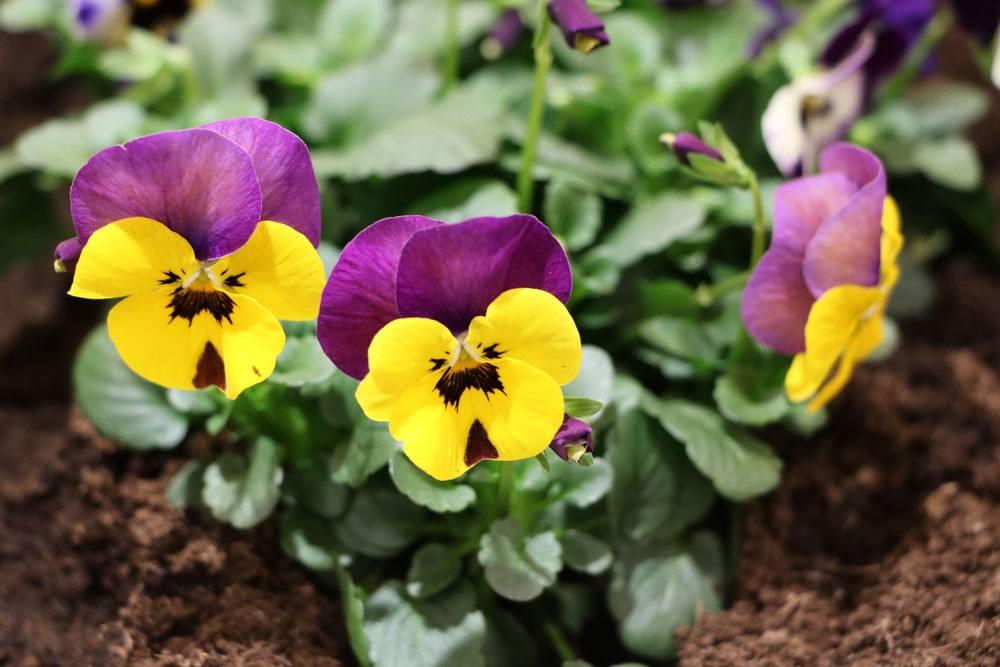Stiefmütterchen als winterharte Balkonpflanze