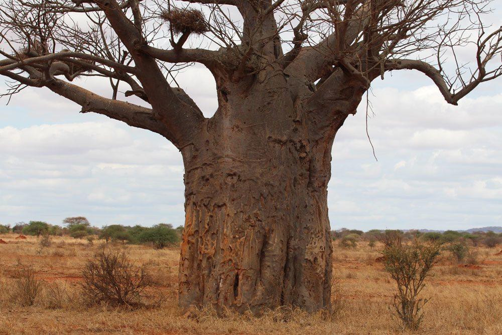 Affenbrotbaum wächst in der Trockensavanne