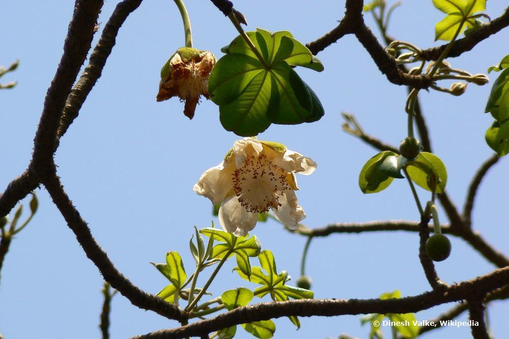 Affenbrotbaum Blätter und Blüte