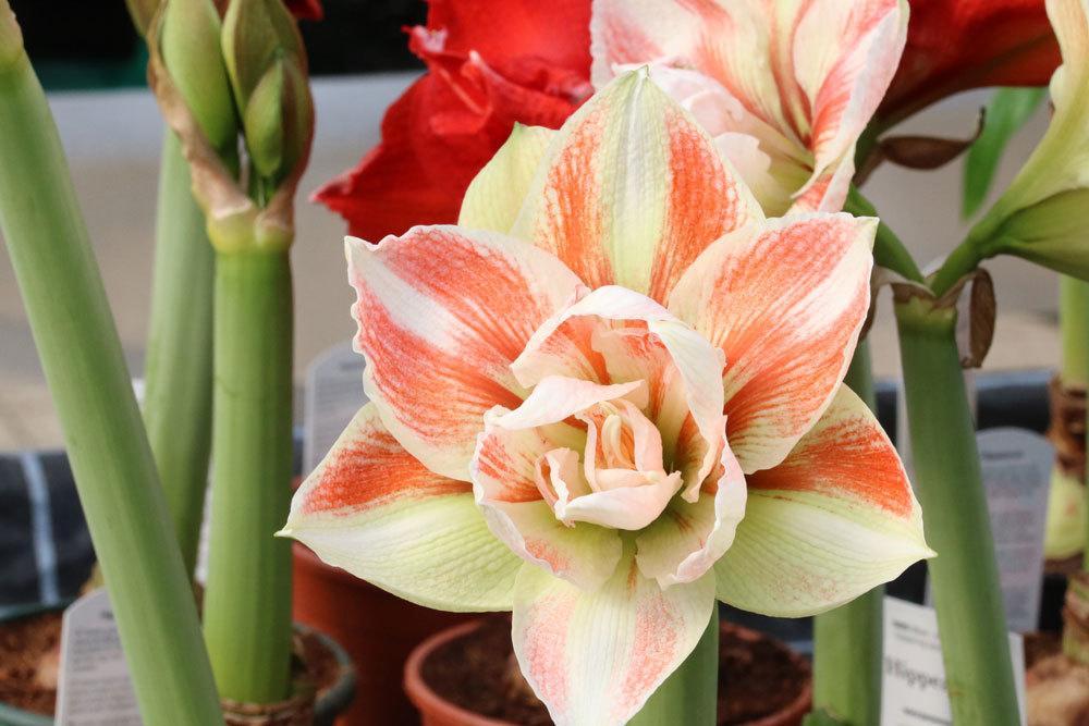 Amaryllis gibt es in vielen Farbvariationen