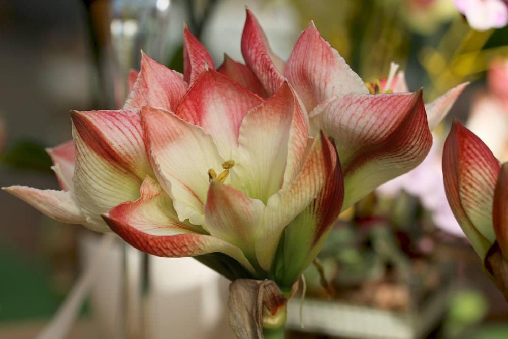 Amaryllis mit geöffneten Blütenkelchen