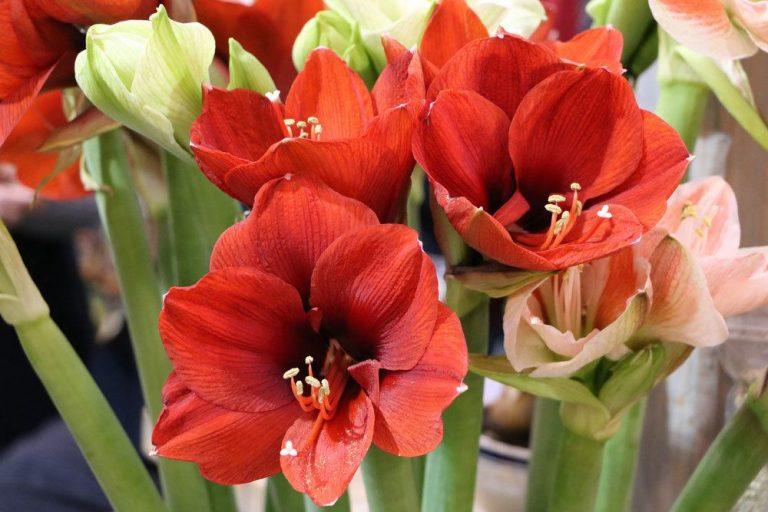 Amaryllis mit ihren großen Blütenkelchen