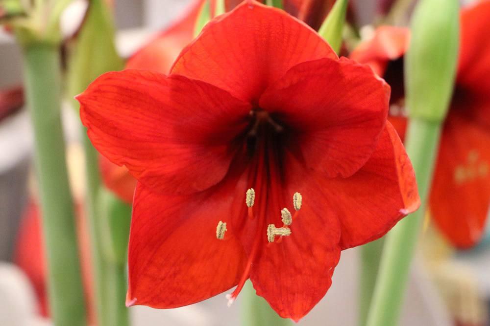Amaryllis enthält hautreizende Stoffe