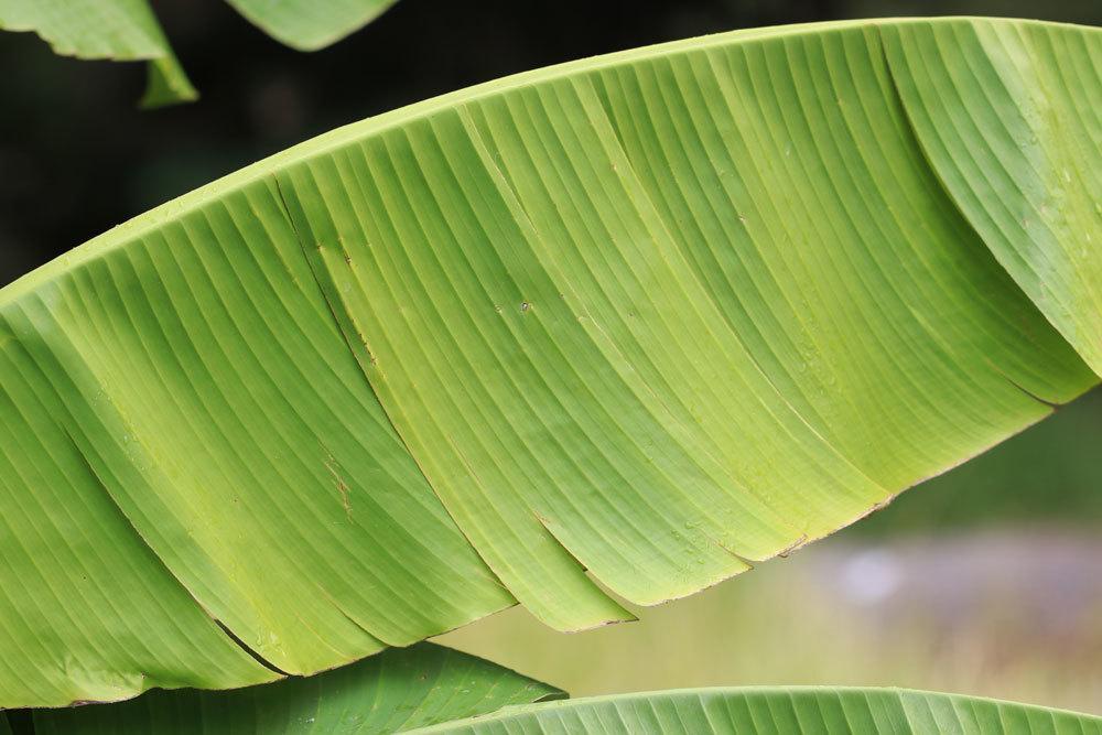 Bananenpflanze mit welkem Blatt