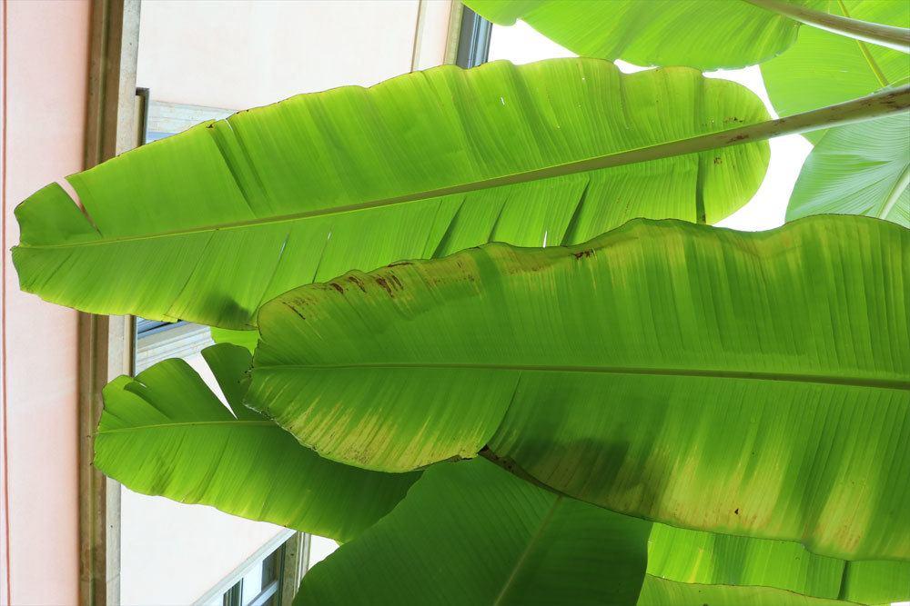 die Bananenpflanze braucht die richtige Luftfeuchtigkeit
