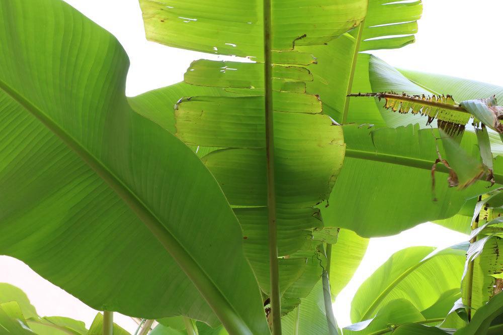 Bananenpflanze mit braunen Blatträndern