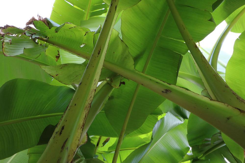 Bananenpflanze mit ihren großen Blättern