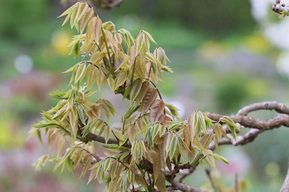 Blauregen treibt wieder frische Blätter aus