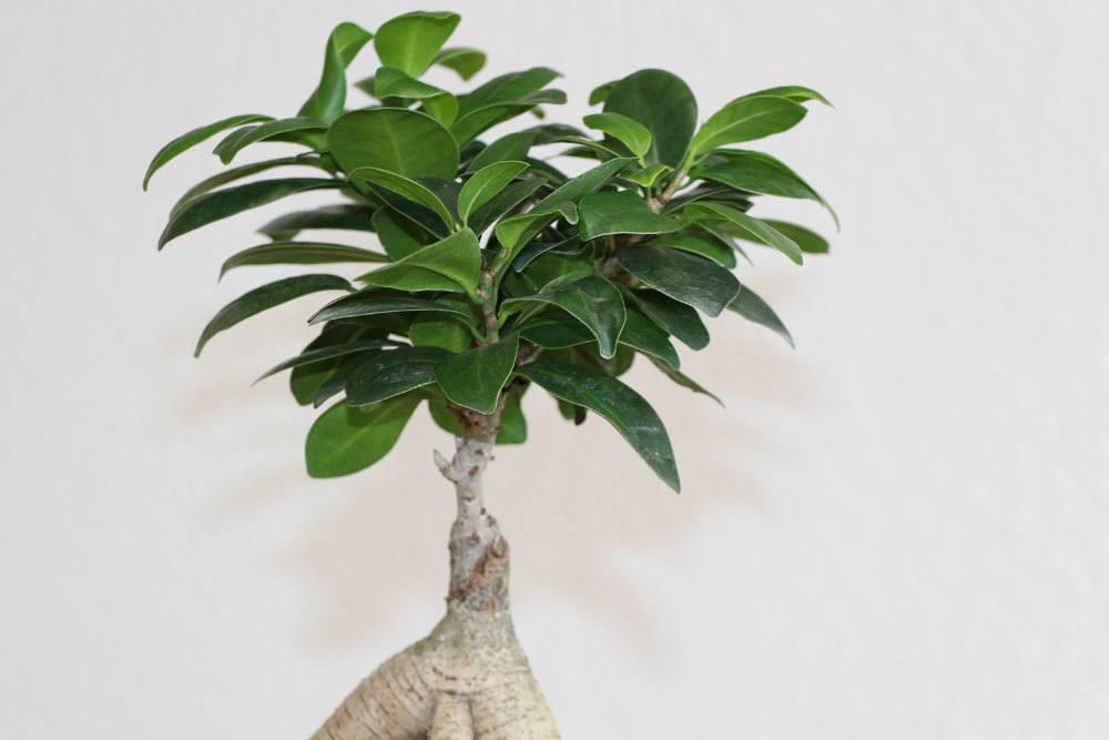bonsai schneiden der form blatt und wurzelschnitt. Black Bedroom Furniture Sets. Home Design Ideas