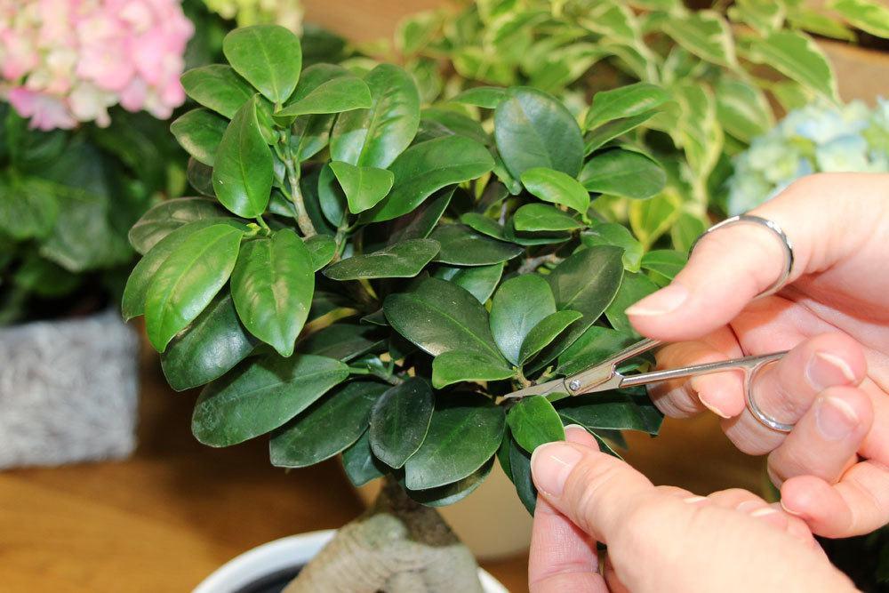 zu große Blätter am Bonsai entfernen