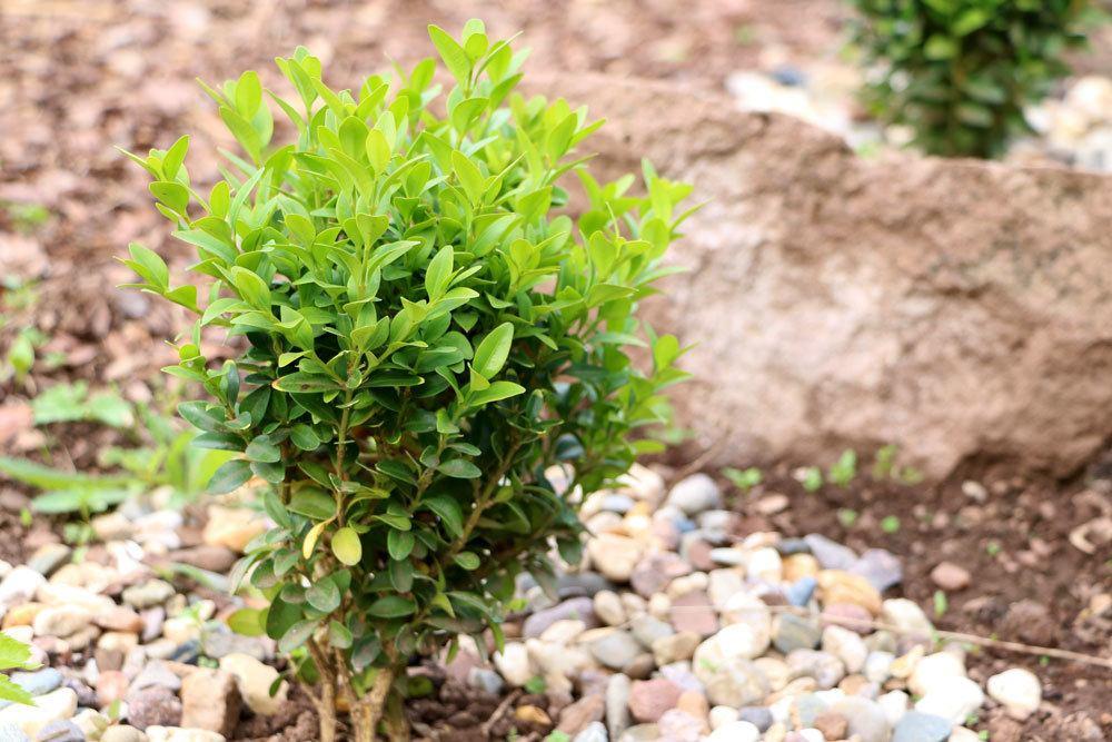 Buchsbaum braucht Winterschutz