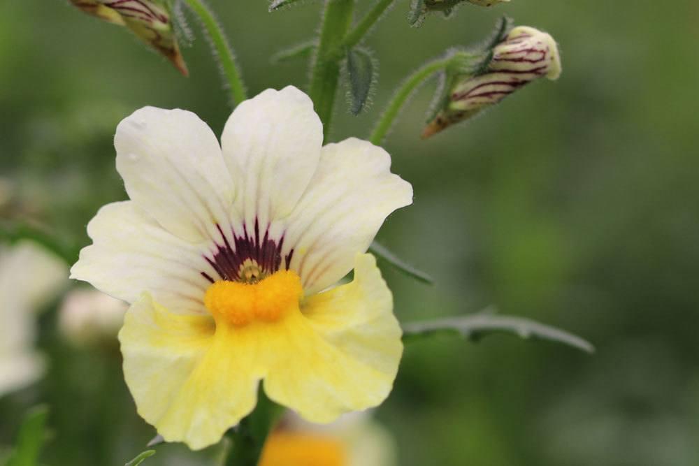 Nemesia mit veilchenähnlicher Blüte