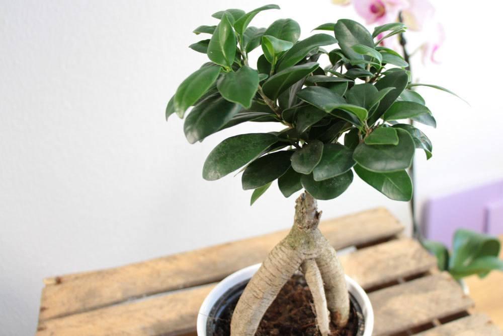 Ficus Ginseng verträgt keine Zugluft