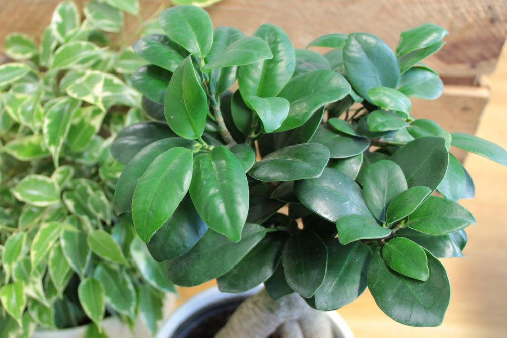Ficus Ginseng ist eine Unterart der Feige